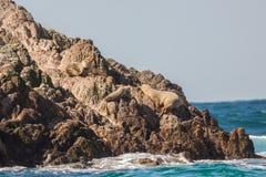 California Sea Lions Stock Images
