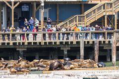 California Sea Lions Stock Photo