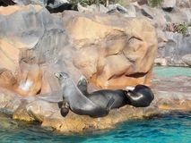 California sea lions in Siam Park, Tenerife. California sea lions are known for their intelligence, playfulness, and noisy barking royalty free stock images