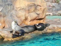 California sea lions in Siam Park, Tenerife. California sea lions are known for their intelligence, playfulness, and noisy barking royalty free stock photo