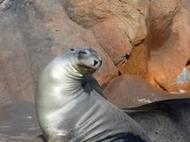 California sea lions in Siam Park, Tenerife. California sea lions are known for their intelligence, playfulness, and noisy barking royalty free stock photos
