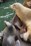California sea lions sleep in huddled piles Stock Images
