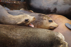 California sea lions sleep in huddled piles Stock Image