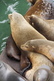 California sea lions sleep in huddled piles Royalty Free Stock Image