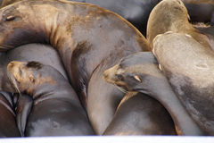 California sea lions sleep in huddled piles Royalty Free Stock Images
