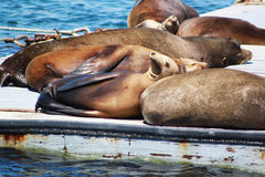 California Sea Lions Sleeping on a Dock. A large group of wild sea lions snooze in the afternoon sun Royalty Free Stock Images