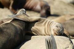 California sea lions sleeping in LaJolla. California sea lions sleeping on rocks in lajolla San Diego Southern California Royalty Free Stock Image
