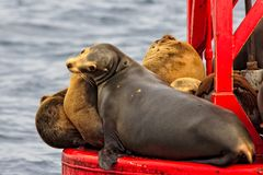 California Sea Lions sunning on a buoy. Close up of Sea Lions sunbathing on a bouy in the Pacific Ocean off the California coast royalty free stock photos