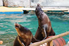California sea lions. Two California sea lions (Zalophus californianus) during an exhibition royalty free stock photography