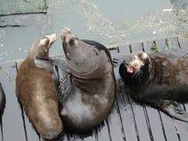 California sea lions on wharf Royalty Free Stock Photos