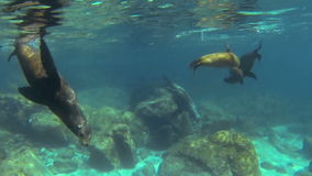 California sea lions stock video footage