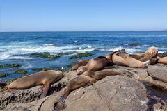 California Sea Lions Zalophus Californianus in La Jolla. California sea lions resting on the beach in La Jolla, San Diego, California Zalophus Californianus. An royalty free stock image