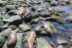 California Sea Lions Zalophus Californianus in La Jolla Stock Photos