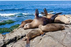 California Sea Lions Zalophus Californianus in La Jolla. California sea lions resting on the beach in La Jolla, San Diego, California Zalophus Californianus. An stock photos