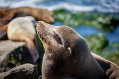 California Sea Lions Zalophus Californianus in La Jolla. California sea lions resting on the beach in La Jolla, San Diego, California Zalophus Californianus. An stock photography