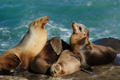 California Sea lions (Zalophus Caslifornianus). Two Sea Lions trying to get in the pile Royalty Free Stock Image