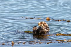California Sea Otter grooming and playing in shallow water royalty free stock image