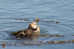 California Sea Otter grooming and playing in shallow water stock images