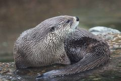 California sea otter Stock Photography
