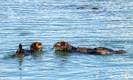 California Sea Otter, mother and baby grooming and playing in shallow water stock images