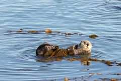 California otter bathing in calm waters with kelp. California Sea Otters grooming and playing in shallow ocean waters close to shore. Sea otters spend much of Royalty Free Stock Photo