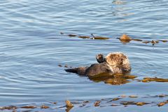 California otter bathing in calm waters with kelp. California Sea Otters grooming and playing in shallow ocean waters close to shore. Sea otters spend much of Stock Images