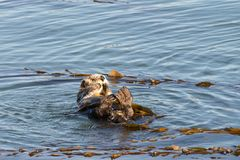 California Sea Otter grooming and playing in shallow water royalty free stock photography