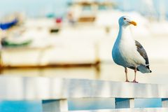 Free California Seagull Royalty Free Stock Photos - 48910448