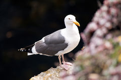 California seagull. Black and white California seagull perched on a rock royalty free stock image