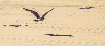 California seagull flying over sandy beach Royalty Free Stock Photo