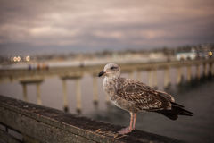 California Seagull in San Diego on beach Royalty Free Stock Photography