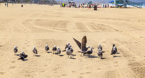 California seagulls at the beach. California seagulls at the sandy beach royalty free stock photo
