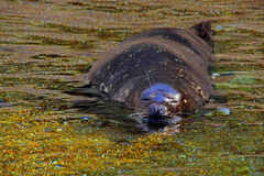 California seal or sea lion Royalty Free Stock Image