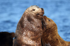 California Sealion Mother & Pup showing Love & Bonds Stock Photography