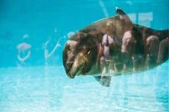 California sealion. In a pool Stock Image