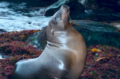 California Sealion Royalty Free Stock Image