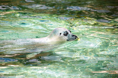 California sealion. Stock Photos
