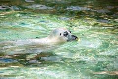 California sealion. California sealion sweam in water Stock Photos