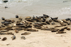 California Seals Royalty Free Stock Photography