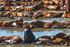 California Seals Burden Astoria`s Docks. California seals pile on docks located on the Columbia River in Astoria, Oregon Stock Photos