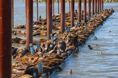 California Seals Burden Astoria`s Docks. California seals pile on docks located on the Columbia River in Astoria, Oregon Stock Image