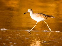 California Shorebird ~ Sandpiper Wades At The Beach During Golden Sunset Royalty Free Stock Images