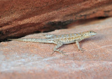 California Side Blotched lizard,Nevada,United stat Royalty Free Stock Photography