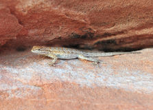 California Side Blotched lizard,Nevada,United stat Royalty Free Stock Images