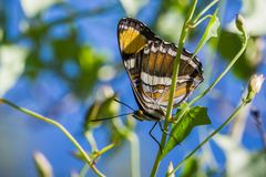 Free California Sister Butterfly (Adelpha Californica) Resting With Its Wings Folded On A Morning Glory Vine; Blue Sky Background; Royalty Free Stock Photos - 135814408