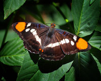 California Sister Butterfly. Resting on a leaf royalty free stock photo