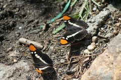 California Sisters Butterflies royalty free stock photos