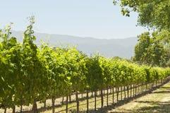 California sol-remojó el viñedo Foto de archivo