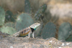 California Spiny Lizard Royalty Free Stock Photography