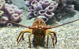 California Spiny Lobster. The California spiny lobster is a species of spiny lobster found in the eastern Pacific Ocean Stock Photo